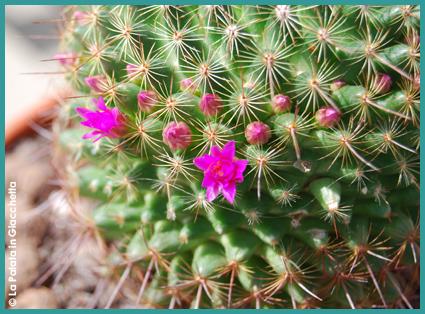 Le mie piante grasse in fiore (1)